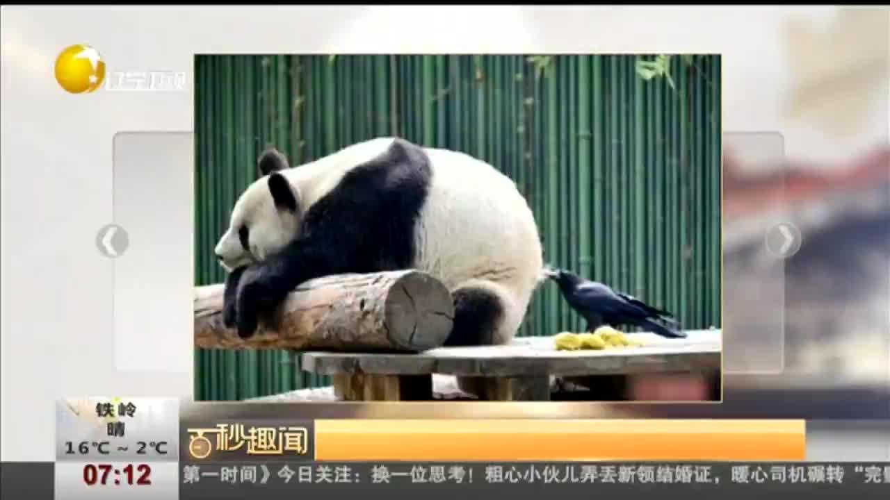 [视频]胆大乌鸦薅大熊猫屁股毛搭窝:滚滚牌小窝了解一下