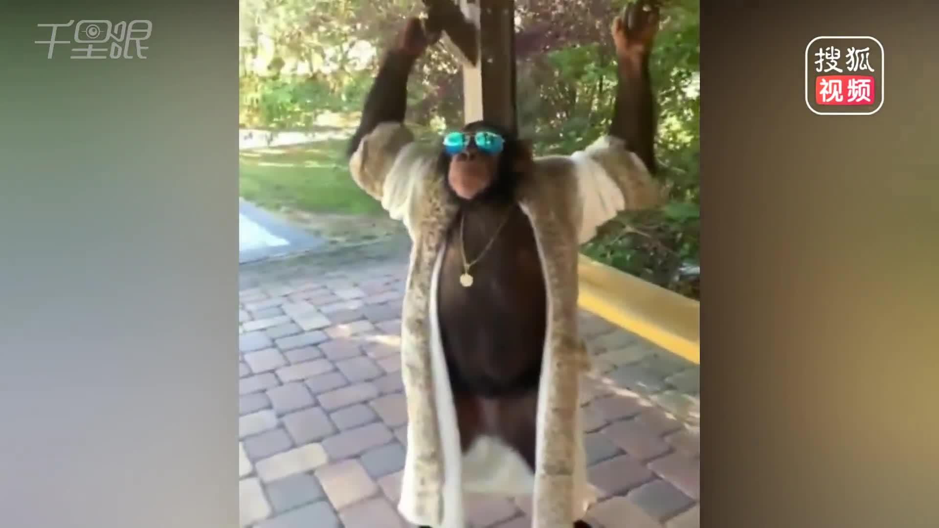 [视频]大猩猩戴墨镜穿人衣 直立行走太霸气