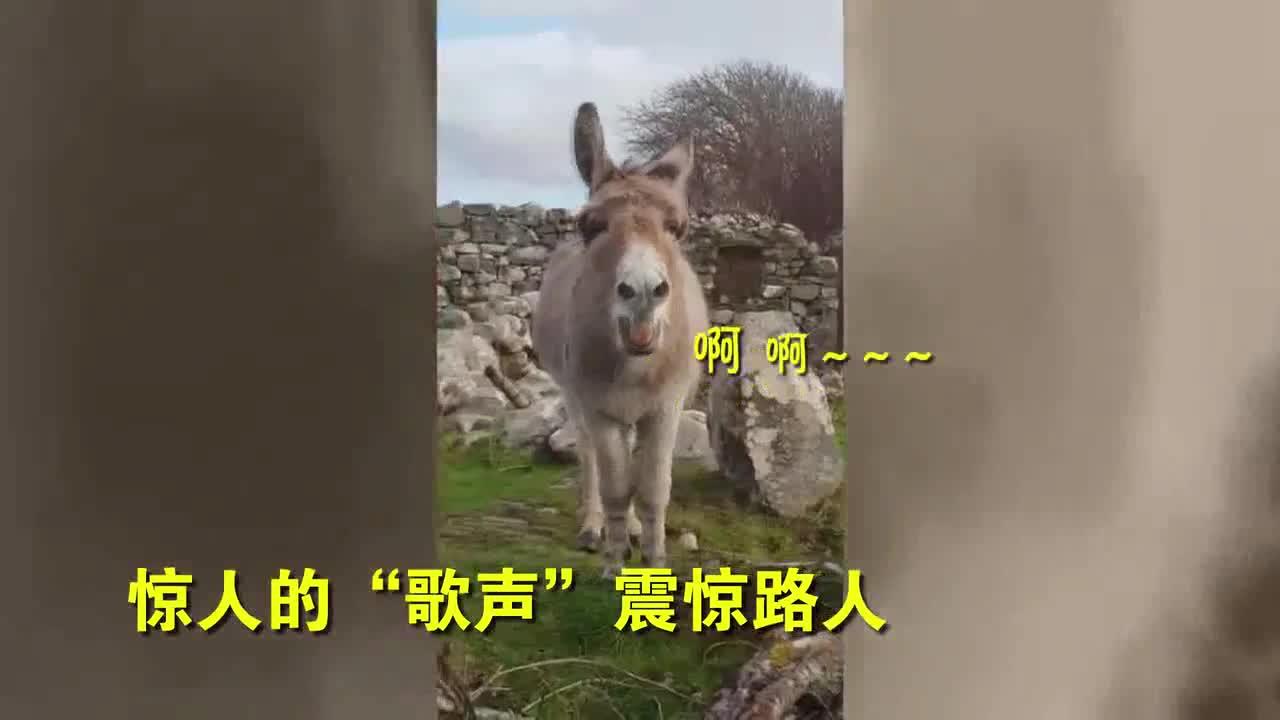"""[视频]爱尔兰一头毛驴竟然会""""唱歌"""" 歌声令路人目瞪口"""