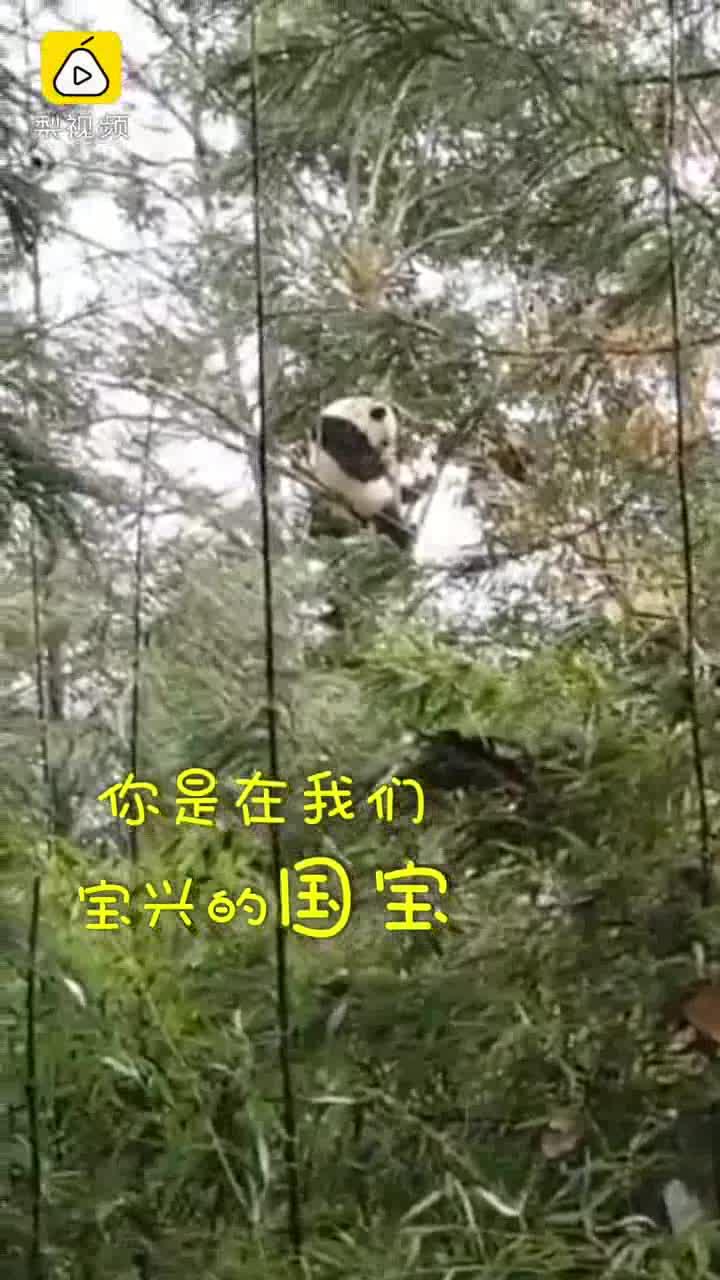 [视频]熊猫上树睡觉 一个四川人爆笑尬聊1小时 熊猫不堪忍受走了