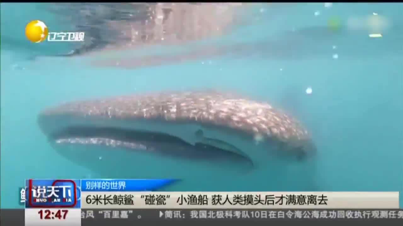 """[视频]6米长鲸鲨""""碰瓷""""小渔船 获人类摸头后才满意离去"""