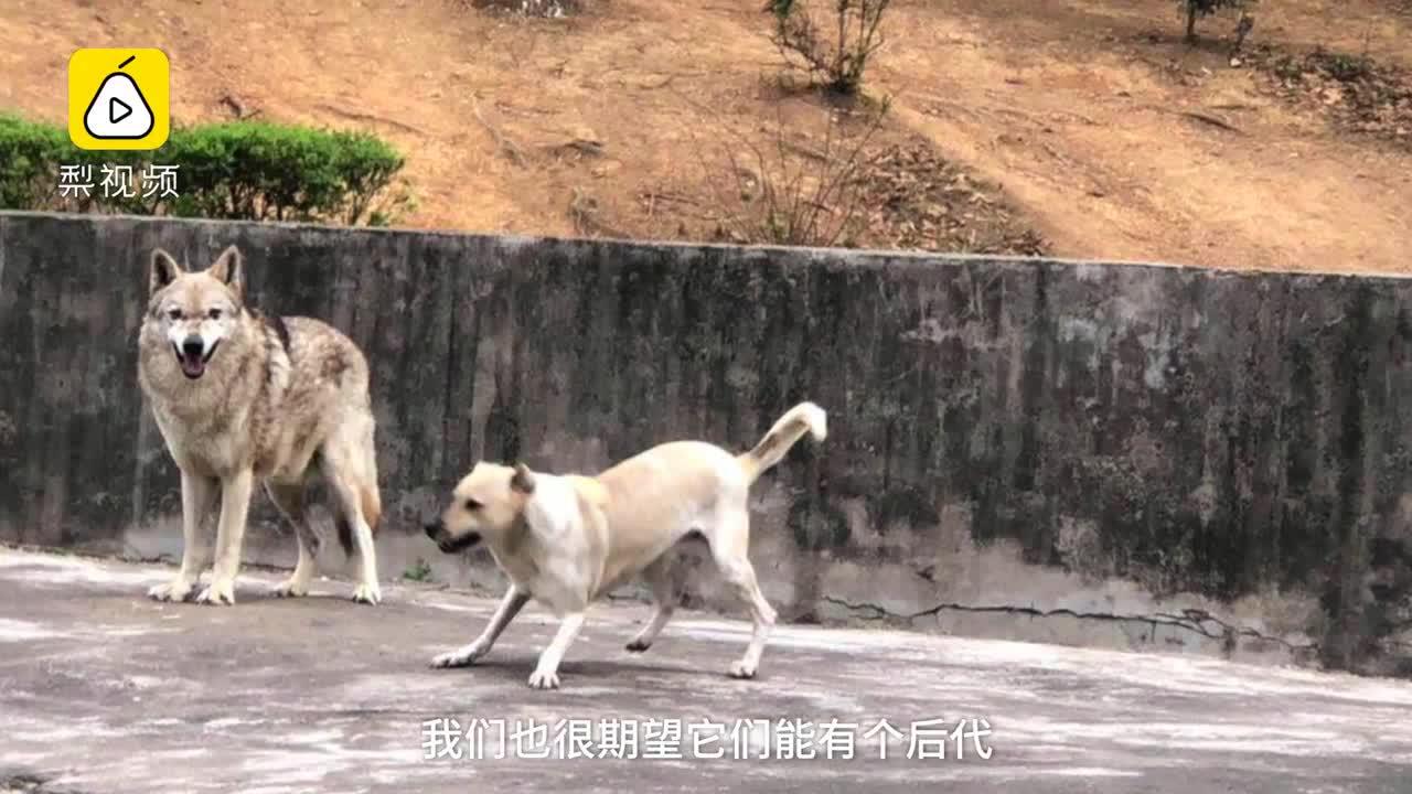 [视频]被偏爱的有恃无恐?公狼母狗同圈一见钟情 母狗称霸公狼挨饿