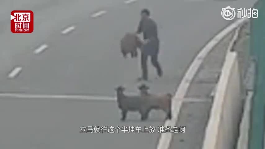 [视频]顺手牵羊!4只羊上高速 过路司机抱了1只就走