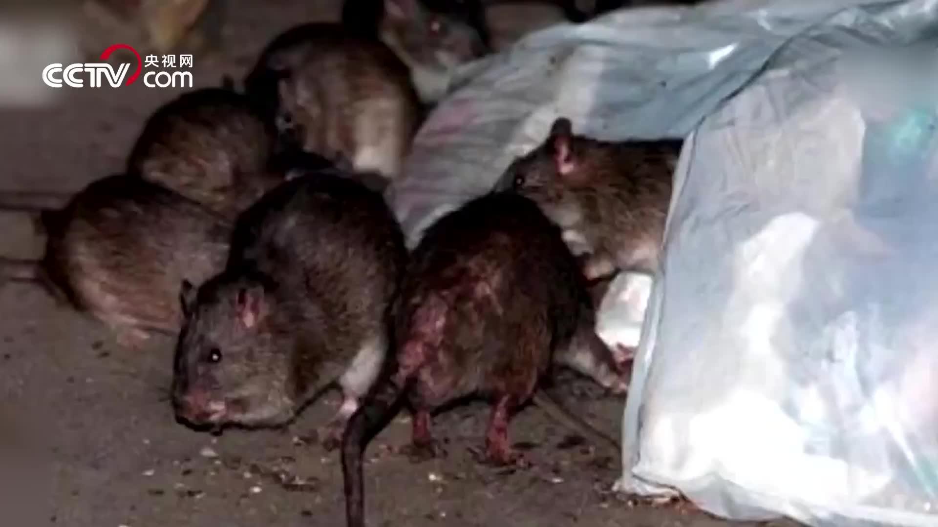 [视频]老鼠的破坏力有多强?三层楼房都被啃塌了