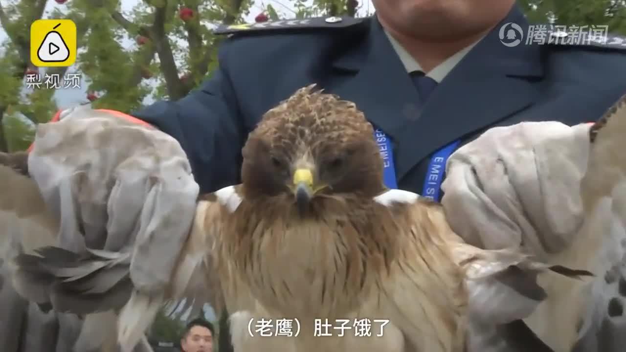 [视频]老鹰捕鱼反被淹,保安误当野鸭救起