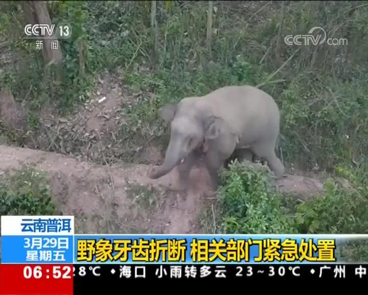 [视频]云南普洱:野象牙齿折断 相关部门紧急处置