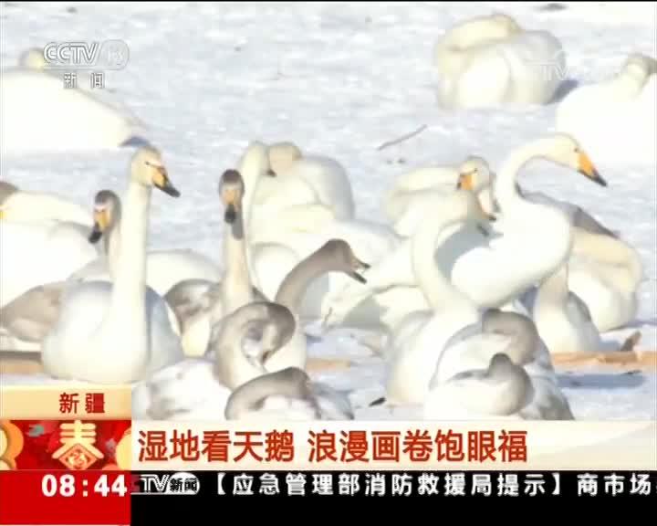 [视频]新疆:湿地看天鹅 浪漫画卷饱眼福