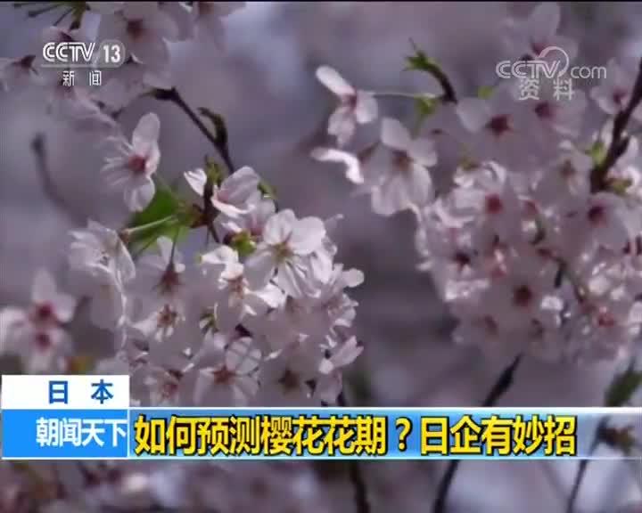 [视频]日本 如何预测樱花花期?日企有妙招