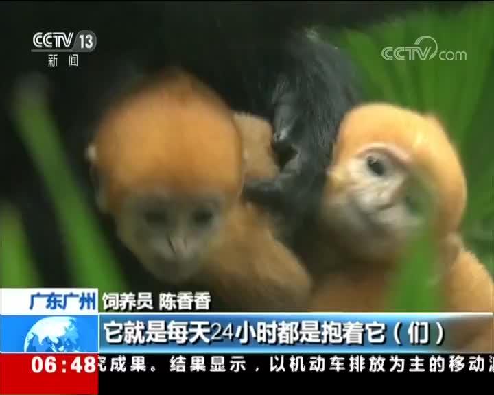 [视频]广州:全球首例珍稀黑叶猴龙凤胎亮相 龙凤胎即将满月 尝试独自玩耍