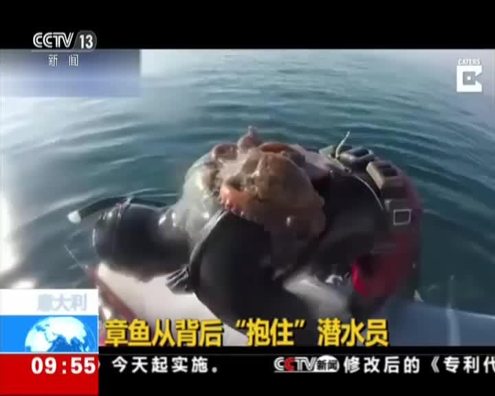 """[视频]意大利:章鱼从背后""""抱住""""潜水员"""