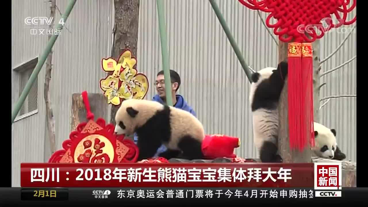 [视频]四川:2018年新生熊猫宝宝集体拜大年