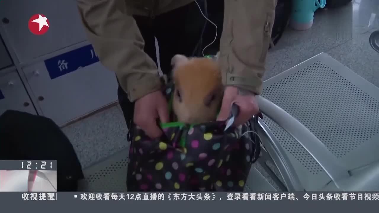 """[视频]旅客带""""宠物猪""""乘火车回家过年 被江苏铁警劝阻"""