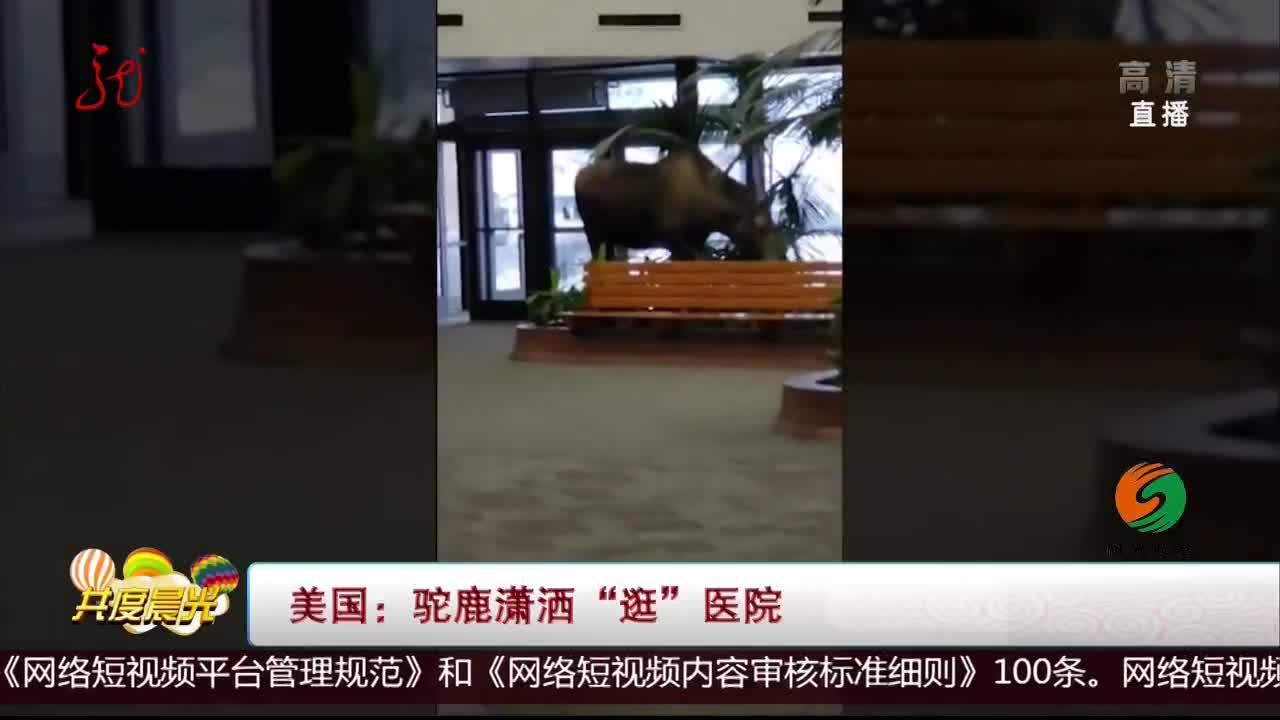 """[视频]美国:驼鹿潇洒""""逛""""医院"""