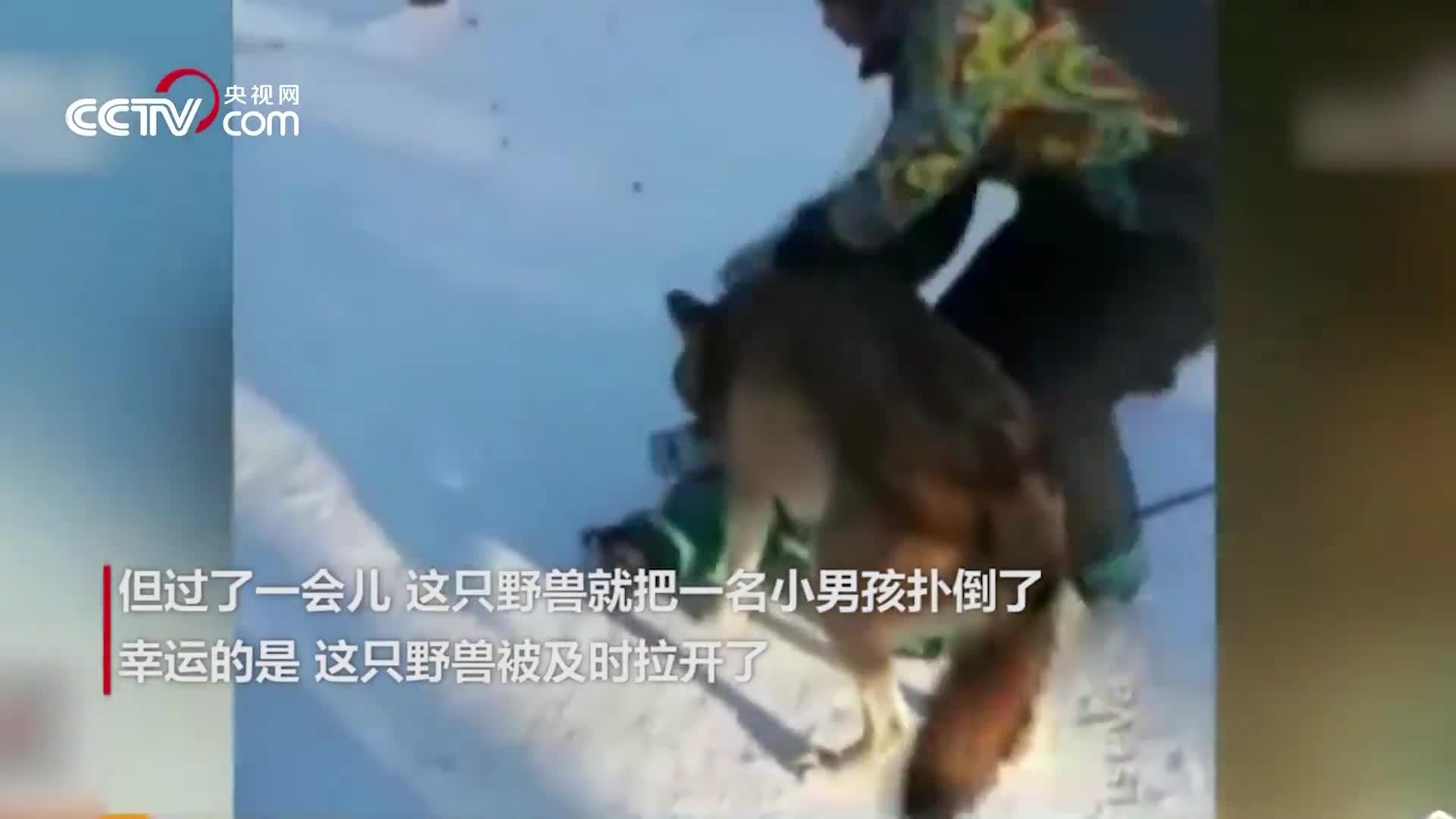 """[视频]战斗民族养""""狼""""也不栓绳 咬伤孩童后主人辩称帮其练胆"""