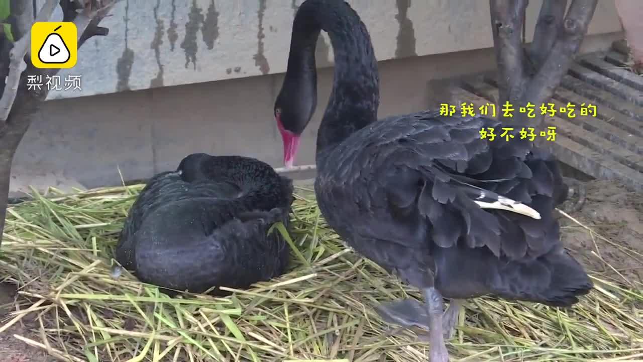 [视频]大爷盗走2颗蛋 黑天鹅爸妈伤心欲绝