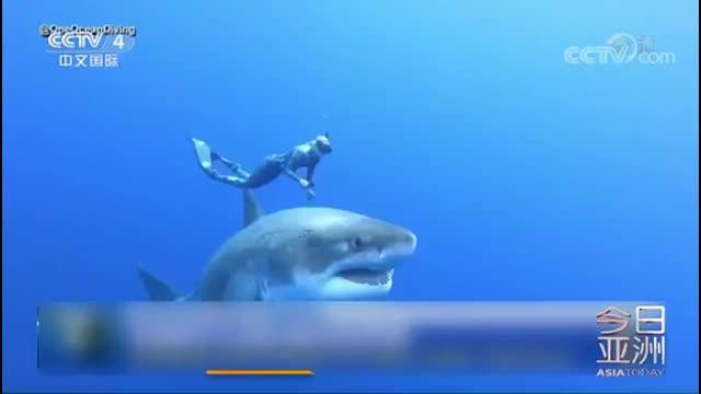 """[视频]美潜水员与全球最大白鲨""""亲密共舞"""""""