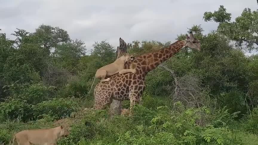 [视频]长颈鹿遭狮群围攻数小时 淡定周旋一脚跺跑狮子