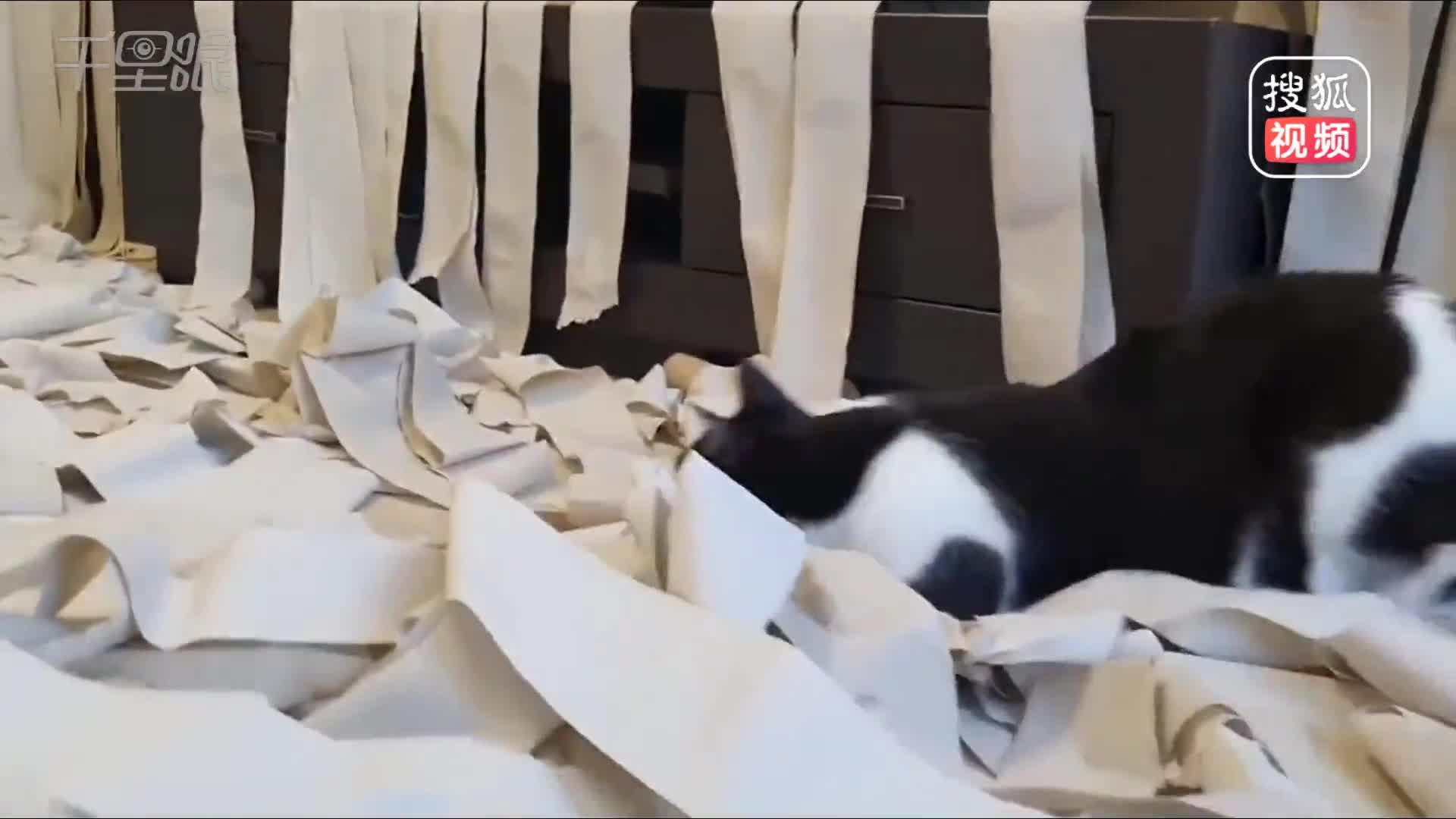 [视频]铲屎官100卷卫生纸布满房间 喵星人兴奋坏了