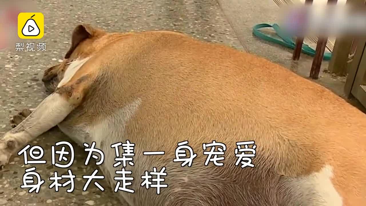 """[视频]小学校犬被养成""""壮牛"""" 校方下令禁止投喂"""