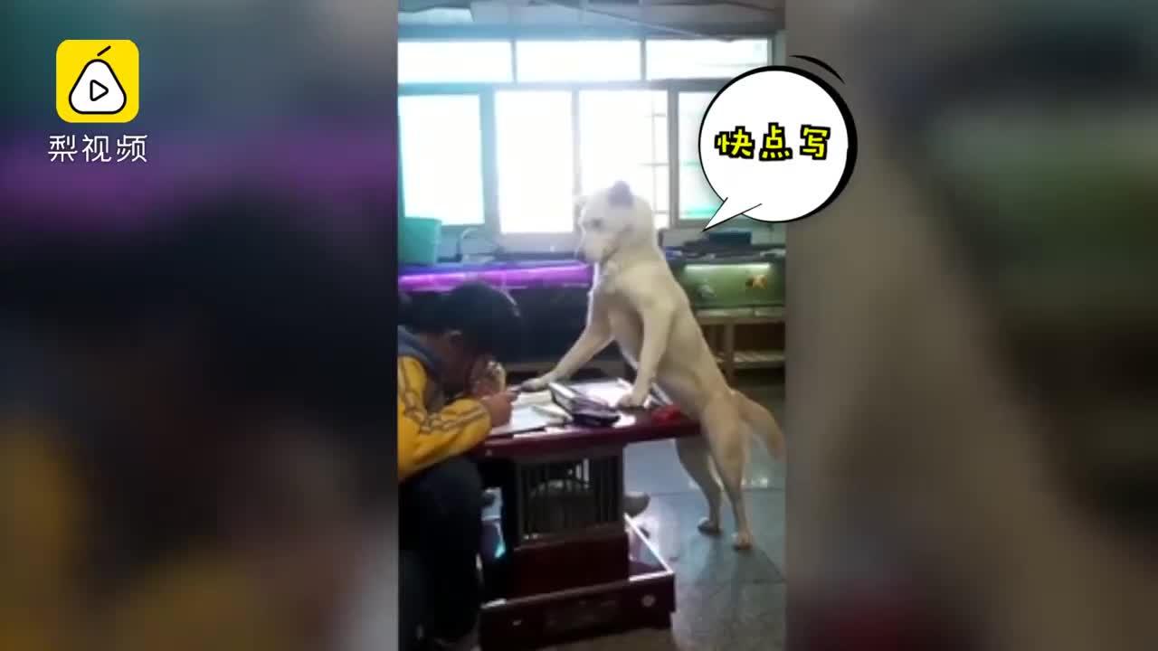 [视频]操碎心!连狗子都监督小主人做作业