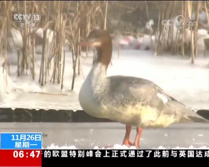 """[视频]新疆 侏鸬鹚现身 中国鸟类家族""""添丁"""""""