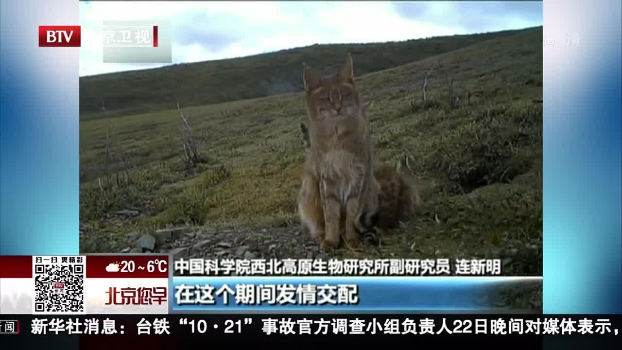 [视频]青海:三江源首次拍到荒漠猫抚育幼崽