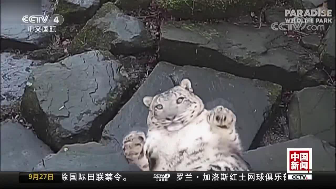 [视频]吓坏了!雪豹被摄像头吓失态