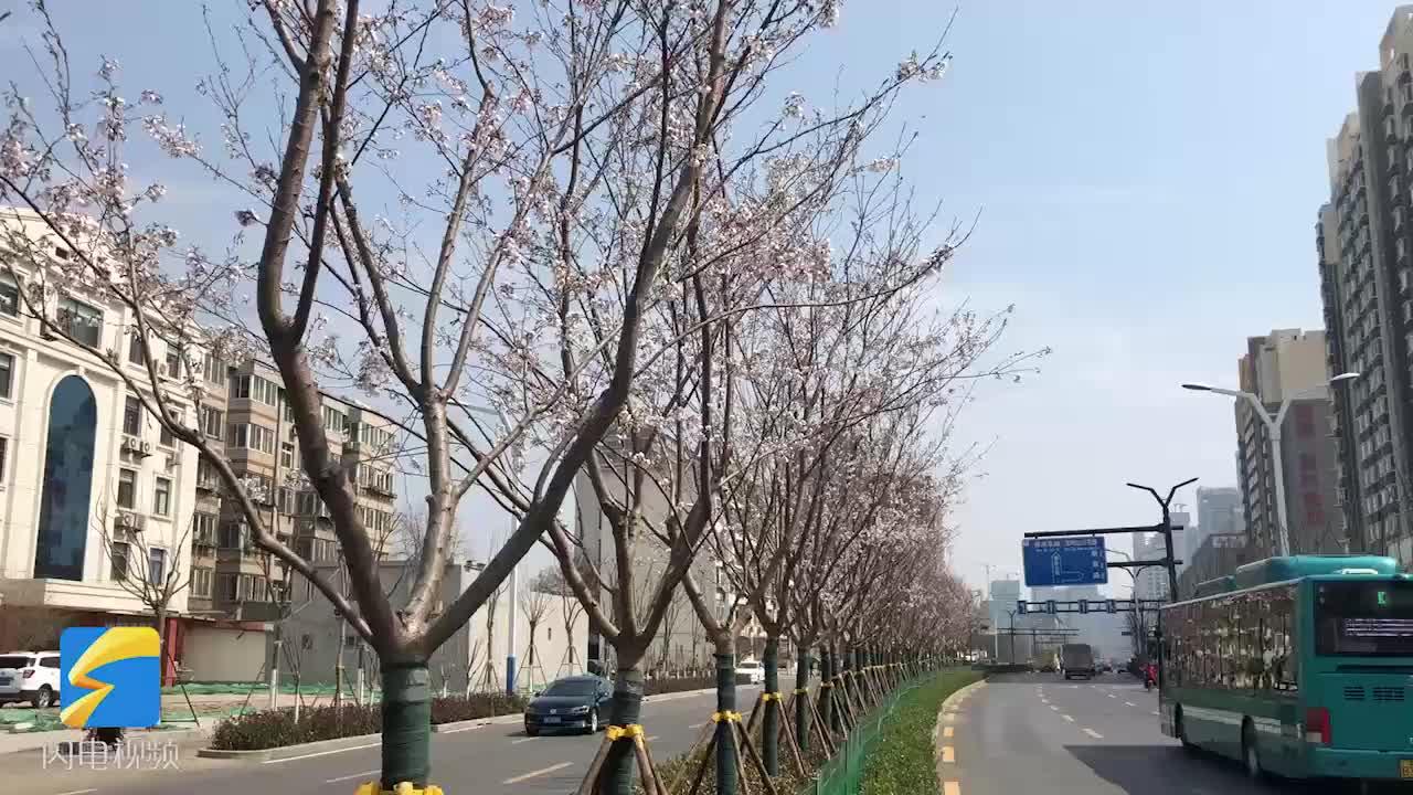 [视频]樱花烂漫! 解放东路4.2公里300棵樱花树成济南春季新亮点
