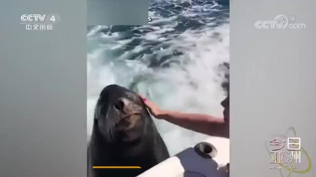 [视频]海狮趴船尾卖萌 索要美食和爱抚