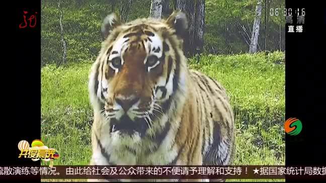 [视频]野生东北虎家族 首次现身黑龙江