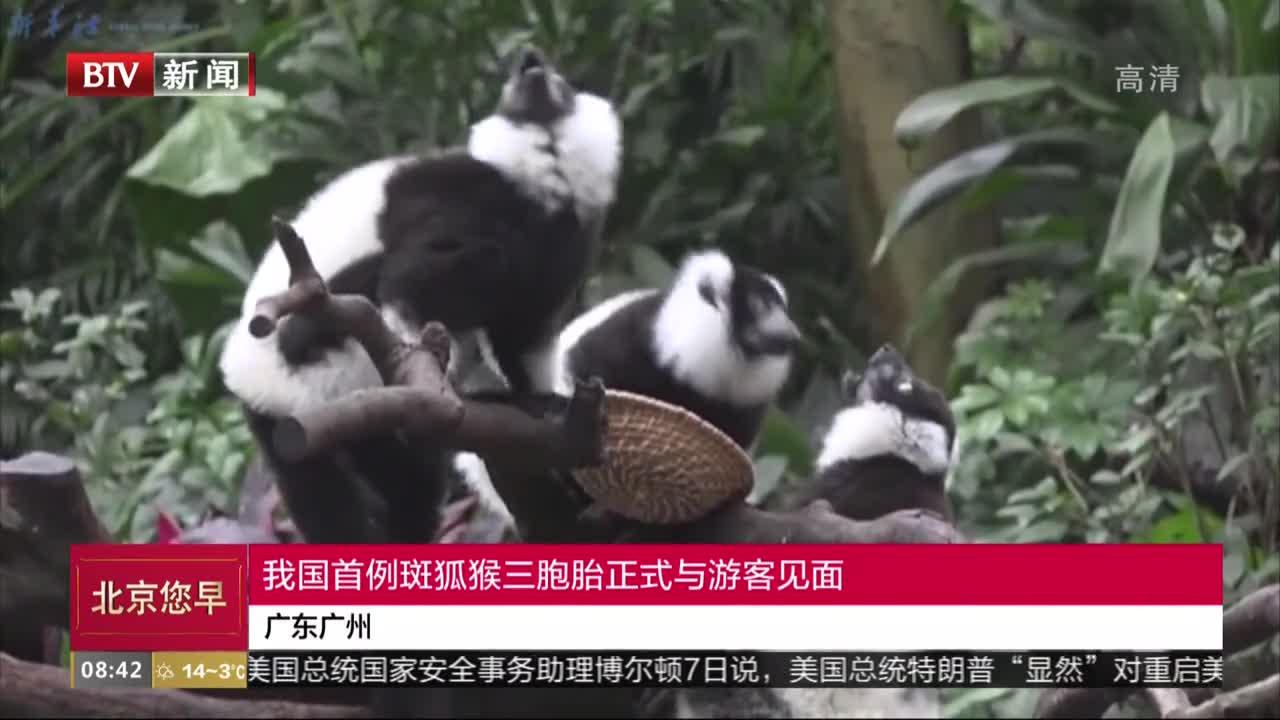 [视频]广东广州:我国首例斑狐猴三胞胎正式与游客见面