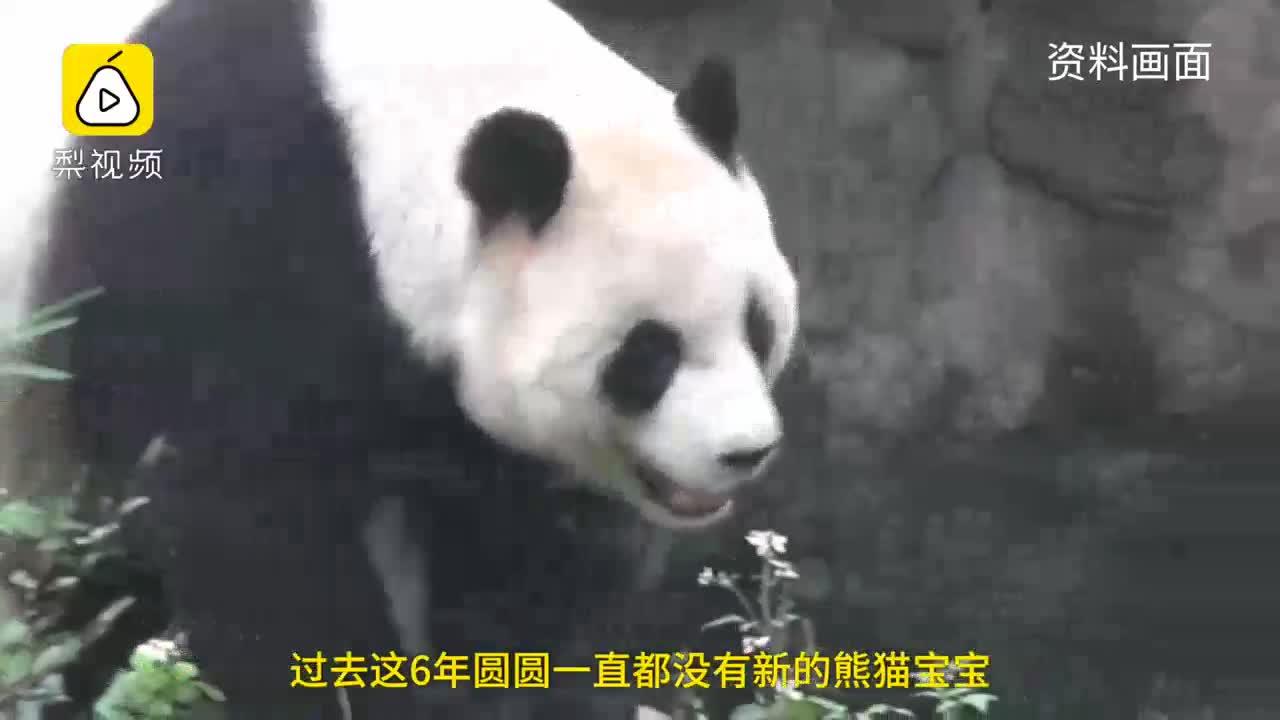 [视频]赴台熊猫夫妇拼二胎:吃好孕窝窝头