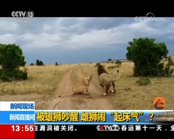 """[视频]被雄狮吵醒 雌狮闹""""起床气""""?"""