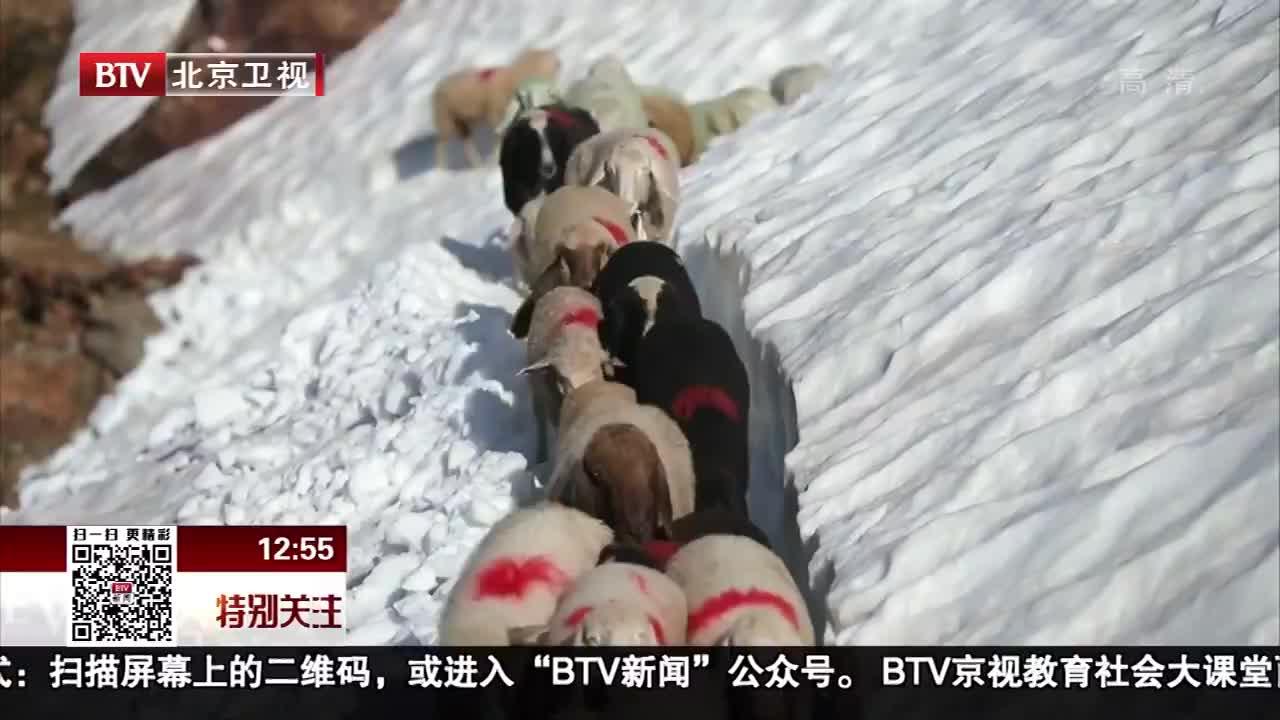 [视频]意大利羊群跋山涉水跨国放牧