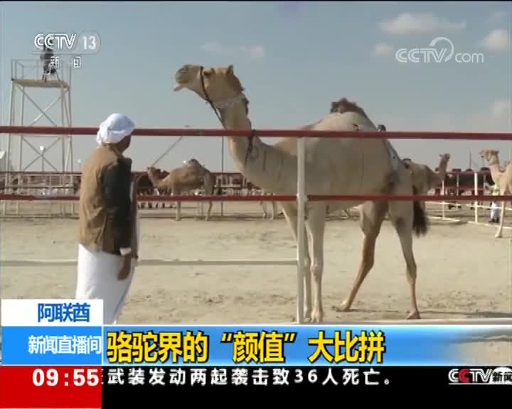"""[视频]阿联酋 骆驼界的""""颜值""""大比拼"""
