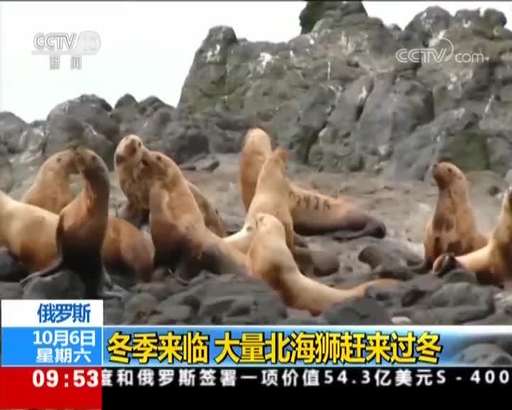 [视频]俄罗斯:冬季来临 大量北海狮赶来过冬