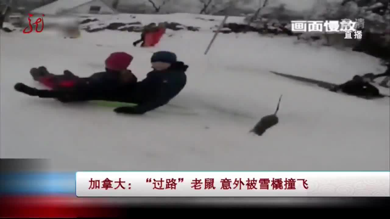 """[视频]加拿大:""""过路""""老鼠 意外被雪橇撞飞"""