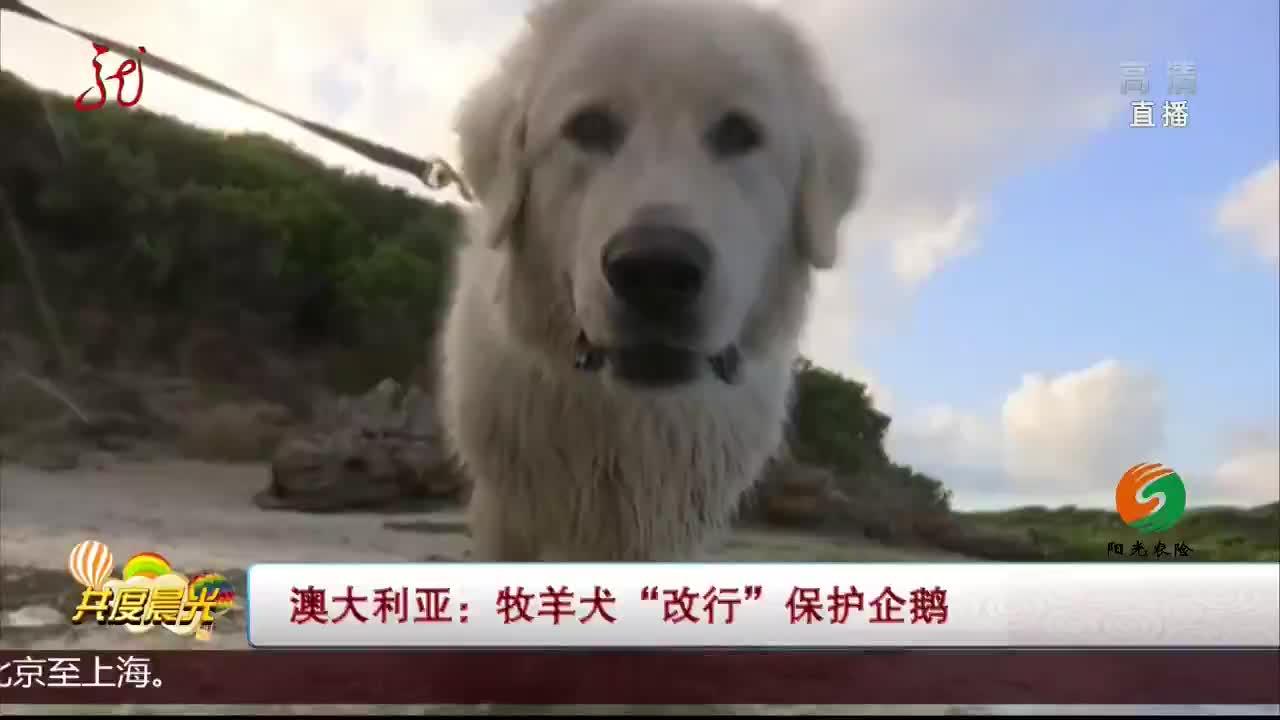 """[视频]澳大利亚:牧羊犬""""改行""""保护企鹅"""
