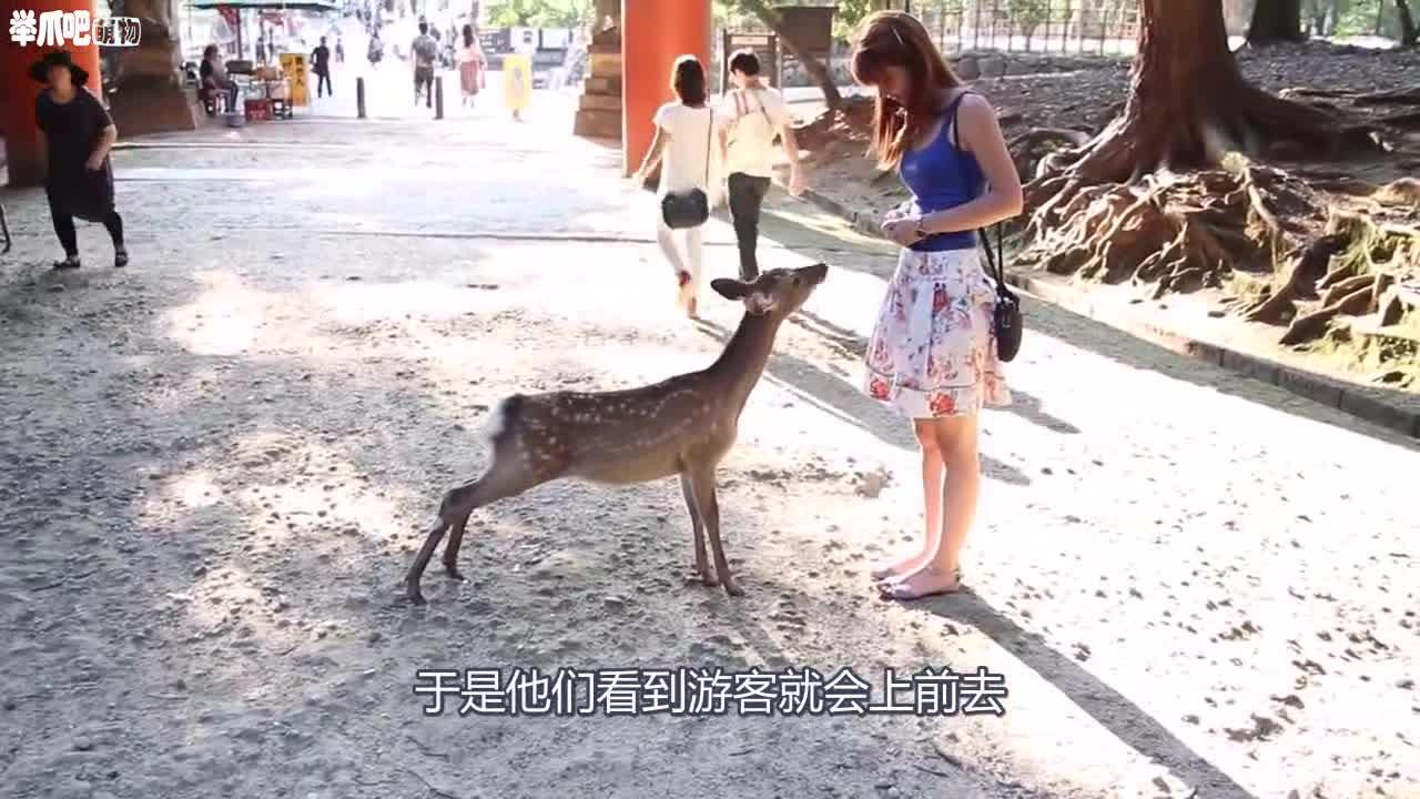 [视频]全世界最有礼貌的奈良小鹿