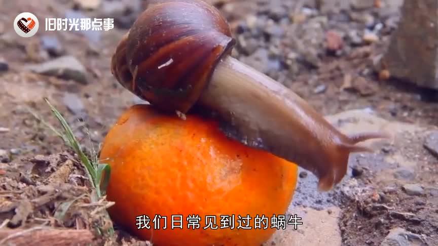[视频]世界上最大的蜗牛 体长超过30厘米 比乌龟还要大