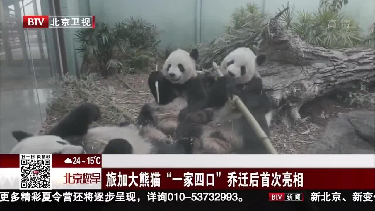 """[视频]旅加大熊猫""""一家四口""""乔迁后首次亮相"""