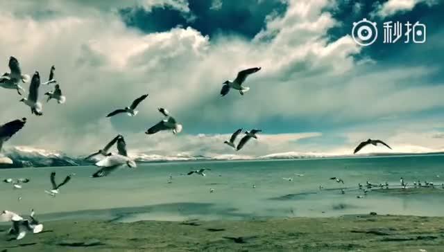 【新时代 幸福美丽新边疆】西藏阿里圣湖玛旁雍错,红嘴鸥自由飞翔