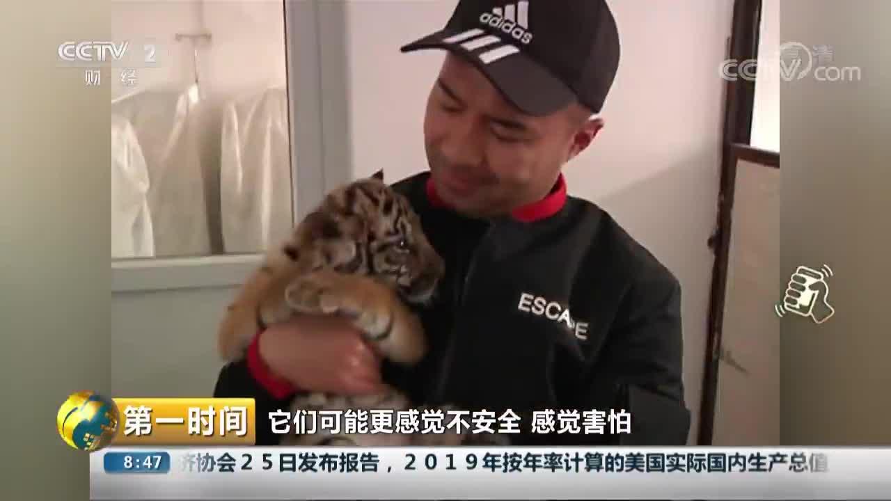 [视频]河南洛阳:华南虎宝宝打疫苗 尖叫到破音
