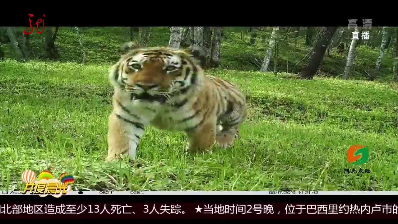 [视频]黑龙江:东北虎豹回归安家
