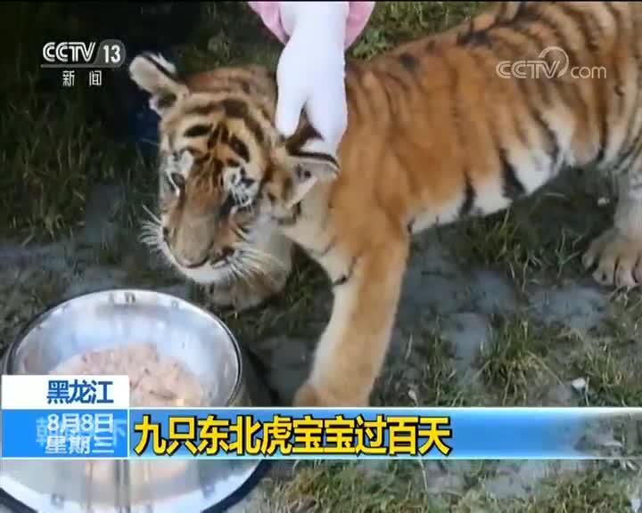 [视频]黑龙江:九只东北虎宝宝过百天