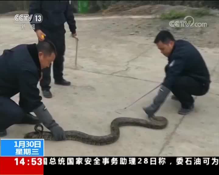 [视频]云南文山 村民修路 挖出冬眠大蟒