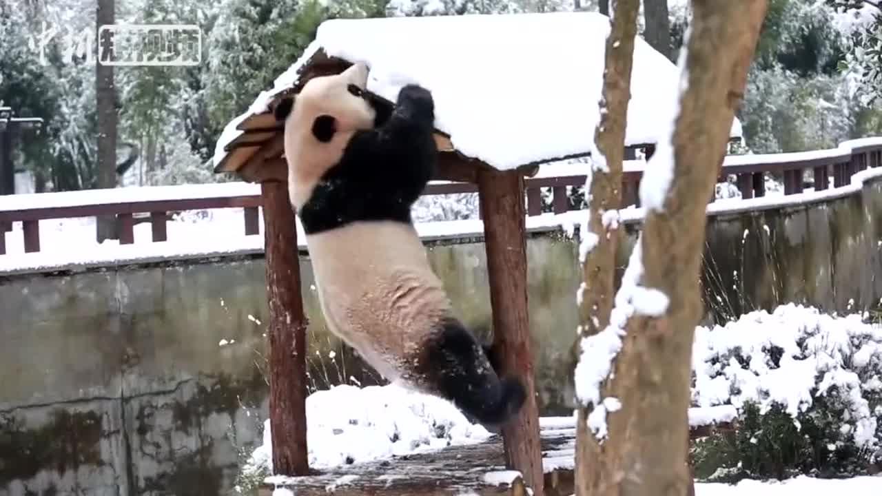 """[视频]抱树、打滚、上房顶大熊猫""""滚滚""""雪中玩嗨了"""