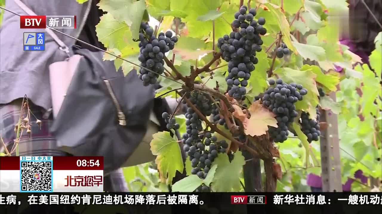 [视频]葡萄熟了 法国巴黎市民体验采摘乐趣