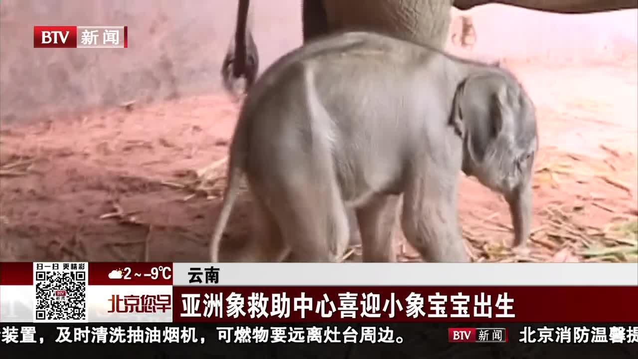 [视频]云南:亚洲象救助中心喜迎小象宝宝出生