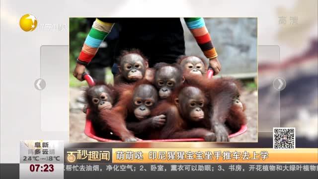 [视频]萌萌哒 印尼猩猩宝宝坐手推车去上学